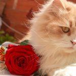jak sadzić róże z marketu