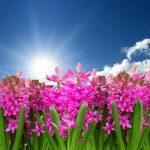 Ile razy kwitnie hiacynt?